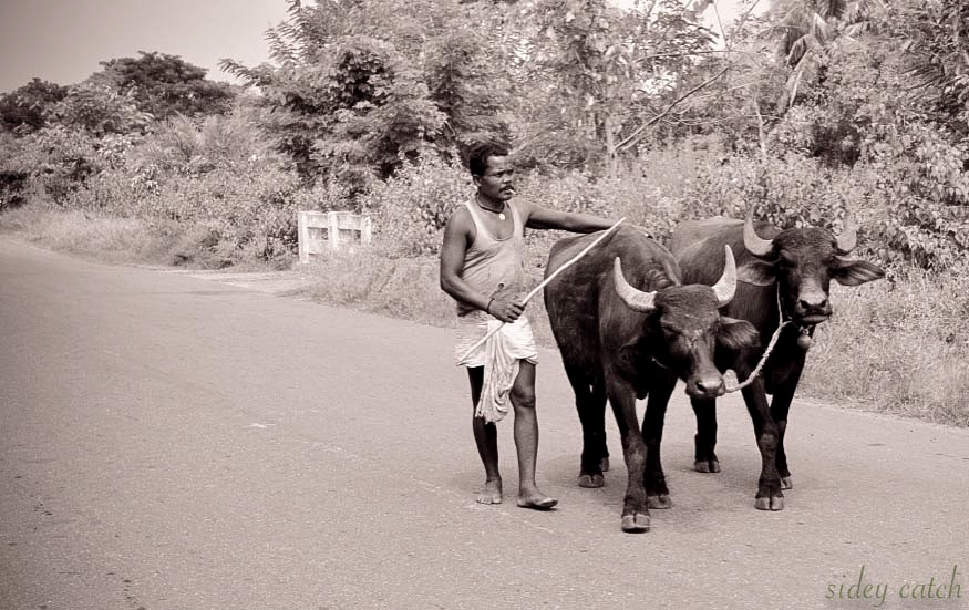 Farmer taking his buffalos to the fields in India